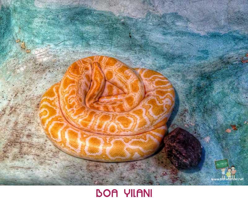 Sasalı-Boa-Yılanı