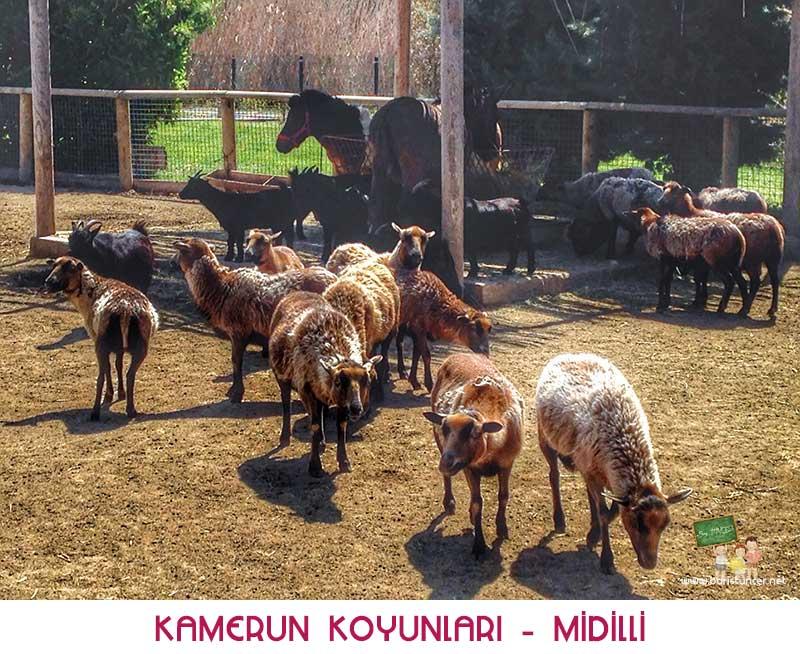 Sasalı-Koyun-Midilli